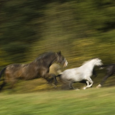 Pferde in Bewegung